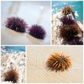 Sea urchin collage Stock Image