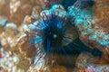 Sea urchin. Royalty Free Stock Photo