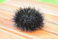 Sea urchin, echinus Royalty Free Stock Photo