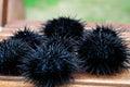 Sea urchin, echinus Royalty Free Stock Photos