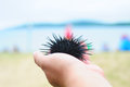 Sea urchin, echinus Stock Photography