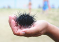 Sea urchin, echinus Stock Images