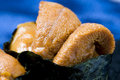 Sea urchin roll Royalty Free Stock Photo