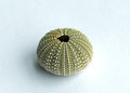 Sea urchin shell showing intricate pattern details Royalty Free Stock Image