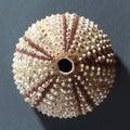 Sea urchin skeleton Royalty Free Stock Photo