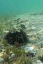 Sea-urchin Royalty Free Stock Photo