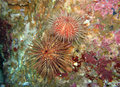 Sea Urchins Stock Photography