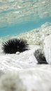 Sea urchins in ocean underwater view of urchin clear Royalty Free Stock Image