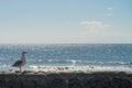 Sea view at Atlantic coast with sea mew Royalty Free Stock Photo