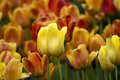 Sea of yellow and gold tulips Royalty Free Stock Images