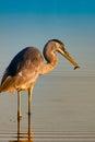 Seabird feeding by ocean Stock Image