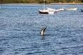 Seabird hunting fish Royalty Free Stock Photo