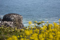 Seabirds on rock near yaquina head lighthouse scenic image of with wildflowers in the foreground the in oregon Royalty Free Stock Photos