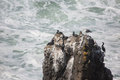 Seabirds on rock rest a rocky cliff near the yaquina head lighthouse Royalty Free Stock Photography