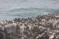 Seabirds on rock rest a rocky cliff near the yaquina head lighthouse Stock Images