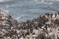 Seabirds on rock rest a rocky cliff near the yaquina head lighthouse Royalty Free Stock Photos