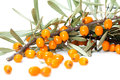 Seabuckthorn closeup orange buckthorn berries on branches isolated on white Stock Photos