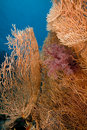 Seafan and fish in the Red Sea. Royalty Free Stock Image