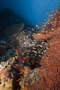 Seafan and glassfish Stock Photo