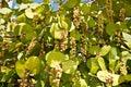 Seagrapes -- Coccoloba uvifera Royalty Free Stock Photo