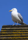 Seagul on the british coast a view of a perched a rooftop Royalty Free Stock Images