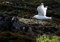 Seagul in midflight Royalty Free Stock Photo