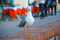 Seagul Royalty Free Stock Photo