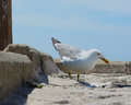 Seagul standing white walking and watching for pray Royalty Free Stock Photos