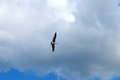 Seagull against a blue sky with white clouds Royalty Free Stock Photo