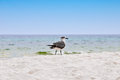 Seagull all alone beach florida Royalty Free Stock Image