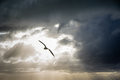 Seagull backlit in a cloudy sky Stock Photos