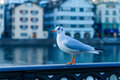Seagull on the bank of the Limmat River, in Zurich Royalty Free Stock Photo