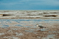 Seagull on the beach of Blackpool, view to wet beach and sea Royalty Free Stock Photo