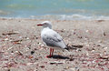 Seagull on the beach close up with ocean in background Royalty Free Stock Photo