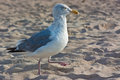 Seagull on the beach marching along Stock Image