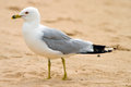 Seagull on the beach resting lake huron ontario canada Royalty Free Stock Images