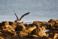 Seagull in the beach rocks in a sunny day Royalty Free Stock Photography