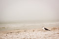 Seagull on the beach sand in clearwater florida a foggy day Stock Photography
