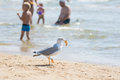 Seagull on the beach seaside dragged a piece of bun with holidaymakers gulls bread rolls from bag food Royalty Free Stock Image