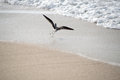 Seagull on beach takeoff with full wings spanned the Royalty Free Stock Photography