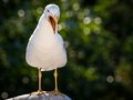 Seagull big open beak call screaming white bird with opened Royalty Free Stock Images