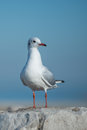 Seagull on big rock Royalty Free Stock Photo