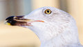 Seagull bird urban beak head wild sea gull closeup Stock Image