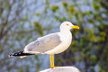 Seagull bird wild with big beak profile view Stock Photography