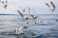 Seagull birds in food fight Royalty Free Stock Photo
