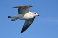 Seagull a in the blue sky Royalty Free Stock Photos
