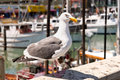 Seagull at boat dock an isolated sitting on a rail a in san francisco Stock Photo