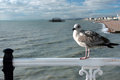 Seagull in Brighton Pier Stock Photography