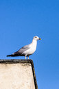 Seagull building watching nest predators a white wild bird for on city Royalty Free Stock Photography