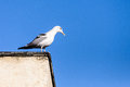 Seagull on building a white wild bird watching for predators city Royalty Free Stock Image